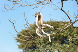 Verreaux's Sifaka (Propithecus Verreauxi) Jumping Photographic Print by G &