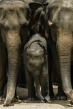 Family of Elephants at the Pinnewala Elephant Orphanage, Sri Lanka, Asia Photographic Print by John Woodworth