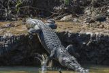 An Adult Wild Saltwater Crocodile (Crocodylus Porosus) on the Banks of the Daintree River Photographic Print by Michael Nolan