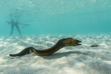 Yellowmargin Moray Eel (Gymnothorax Flavimarginatus) Underwater on Pink Sand Beach Photographic Print by Michael Nolan