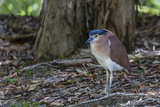 An Adult Nankeen Night Heron (Nycticorax Caledonicus) on the Banks of the Daintree River Photographic Print by Michael Nolan