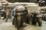Elephants Bathing in the River at the Pinnewala Elephant Orphanage, Sri Lanka, Asia Photographic Print by John Woodworth