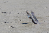 An Adult Male Mudskipper Photographic Print by Michael Nolan