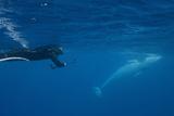 Adult Dwarf Minke Whale (Balaenoptera Acutorostrata) Photographic Print by Michael Nolan