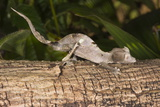 Fantastic Leaf Tailed Gecko (Uroplatus Phantasticus), Madagascar, Africa Photographic Print by G &
