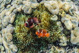 A Pair of Spinecheek Anemonefish (Premnas Biaculeatus) Photographic Print by Michael Nolan