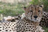 Cheetah (Acinonyx Jubatus), Masai Mara, Kenya, East Africa, Africa Photographic Print by Sergio Pitamitz