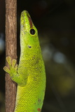 Madagascar Giant Day Gecko (Phelsuma Madagascariensis Grandis), Madagascar, Africa Photographic Print by G &