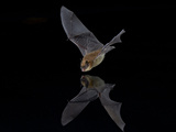 Southwestern Myotis (Myotis Auriculus) in Flight About to Take a Drink Photographic Print by James Hager
