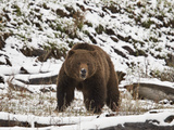 Grizzly Bear (Ursus Arctos Horribilis) in the Snow in the Spring Photographic Print by James Hager