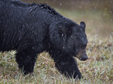 Black Bear (Ursus Americanus) in the Snow Photographic Print by James Hager