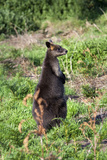Wallaby Near Swan Lake, Phillip Island, Victoria, Australia, Pacific Photographic Print by Lynn Gail