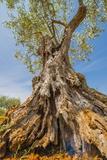 Old Olive Tree, Istria, Croatia, Europe Photographic Print by Karl Thomas