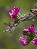 Female Broad-Tailed Hummingbird (Selasphorus Platycercus) Feeding at a Walkingstick (Cane) Cholla Photographic Print by James Hager