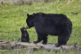 Black Bear (Ursus Americanus) Sow and Cub of the Year Photographic Print by James Hager