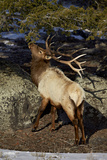 Bull Elk (Cervus Canadensis) Eating Pine Needles Photographic Print by James Hager
