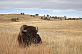Bison (Bison Bison) Bull, Custer State Park, South Dakota, United States of America, North America Photographic Print by James Hager