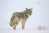 Coyote (Canis Latrans) in the Snow Photographic Print by James Hager