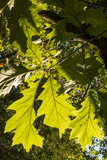 Oak Tree (Quercus Sp.), Moravia, Czech Republic, Europe Photographic Print by Karl Thomas