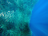 Shoal of Sardines, Panagsama Beach, Moalboal, Cebu, the Visayas, Philippines, Southeast Asia, Asia Photographic Print by Christian Kober