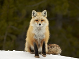Red Fox (Vulpes Vulpes) (Vulpes Fulva) in the Snow Photographic Print by James Hager