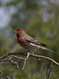 House Finch (Carpodacus Mexicanus) Photographic Print by James Hager