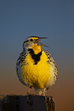 Western Meadowlark (Sturnella Neglecta) Singing Photographic Print by James Hager