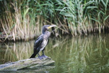 Great Cormorant (Phalacrocorax Carbo) Juvenile Photographic Print by Mark Doherty