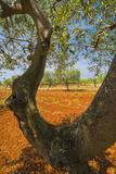 Olive Trees, Istria, Croatia, Europe Photographic Print by Karl Thomas