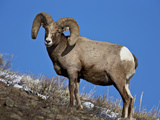 Bighorn Sheep (Ovis Canadensis) Ram in the Snow Photographic Print by James Hager
