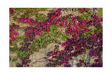 Boston Ivy in Fall Photographic Print by Henri Silberman
