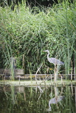 Grey Heron (Ardea Cinerea) by Waters Edge Photographic Print by Mark Doherty