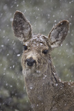 Young Mule Deer (Odocoileus Hemionus) in a Snow Storm in the Spring Photographic Print by James Hager