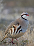 Chukar (Alectoris Chukar) Photographic Print by James Hager
