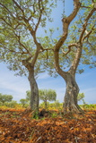 Olive Trees, Istria, Croatia, Europe Photographic Print by Karl Thomas