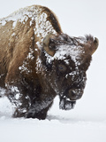 Bison (Bison Bison) Bull Covered with Snow in the Winter Photographic Print by James Hager
