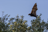 Black Flying Fox (Pteropus Alecto) in Flight on the Hunter River, Kimberley, Western Australia Photographic Print by Michael Nolan