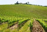 Vines, Chianti Region, Tuscany, Italy, Europe Photographic Print by Peter Groenendijk