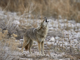 Coyote (Canis Latrans) Howling Photographic Print by James Hager