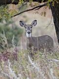 White-Tailed Deer (Whitetail Deer) (Virginia Deer) (Odocoileus Virginianus) Doe Photographic Print by James Hager