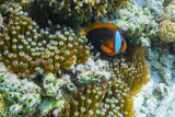Anemonefish in Anemone on Underwater Reef on Jaco Island, Timor Sea, East Timor, Asia Photographic Print by Michael Nolan