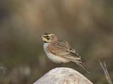 Horned Lark (Eremophila Alpestris) Photographic Print by James Hager