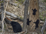 Black Bear (Ursus Americanus) Sow and Three Cubs of the Year Photographic Print by James Hager