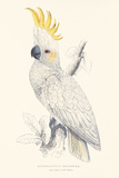Lesser Sulphur-Crested Cockatoo Premium Giclee Print by Edward Lear