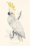 Lesser Sulphur-Crested Cockatoo Premium Giclee Print by Edward Lear