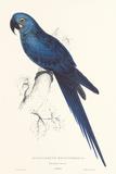Hyacinthine Parakeet Posters par Edward Lear