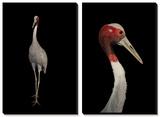 A Rare Indian Sarus Crane (Grus Antigone Antigone) Posters by Joel Sartore