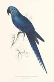Hyacinthine Parakeet Premium Giclee Print by Edward Lear