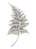 Fern Frond I Giclee Print by Hilary Armstrong