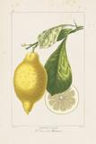 Les Citrons II Giclee Print by A. Poiteau